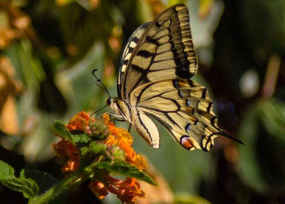 butterfly560x400